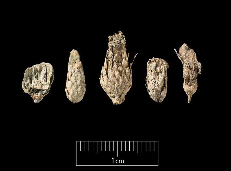 Some of the flower heads from the hoard [Photo Steven Baker at Historic England - their copyright]