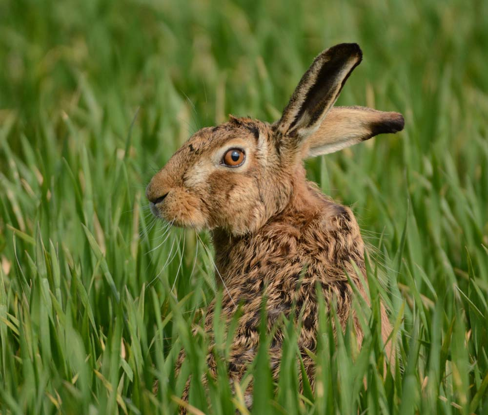 Wiltshire has a healthy brown hare population but this attracts poachers for illegal hare coursing (Photo: Peter Thompson)