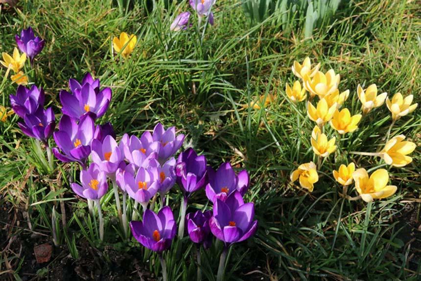 February crocuses - and sunshine - in St Mary's Churchyard (Photo: Eric Gilbert)