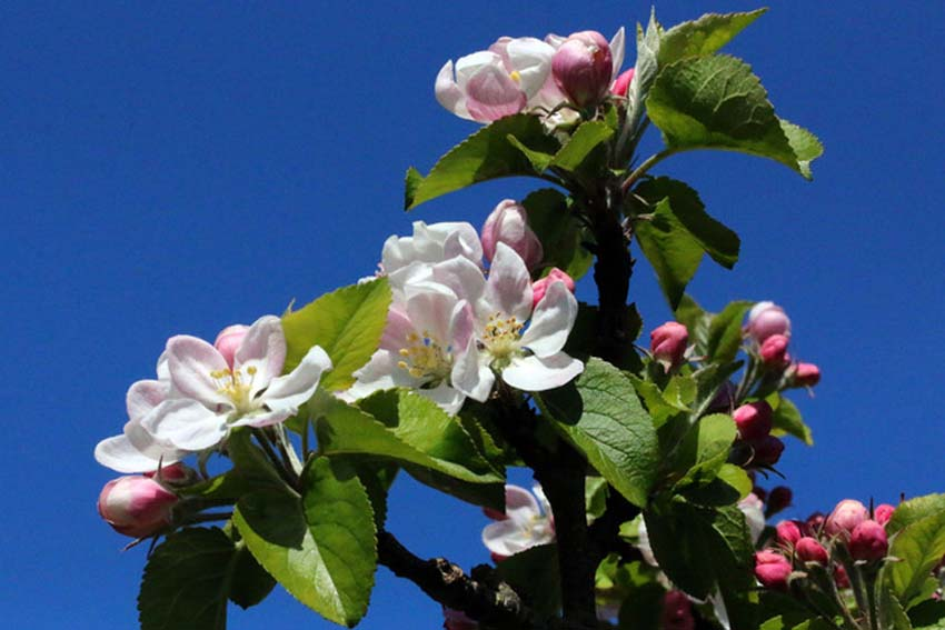 April's blue skies and apple blossom (Photo: Eric Gilbert)