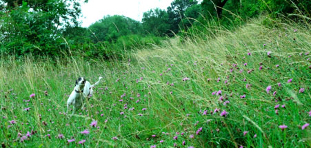 My lurcher, Tess, out for a run in the hills above Marlborough