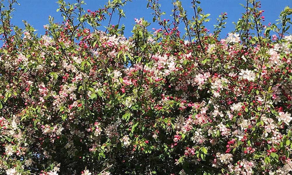 Marlborough Blossom April 2020