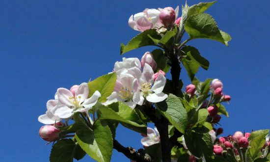 Eric-Gilbert-weather-April-2020 - April apple blossom against a deep blue sky