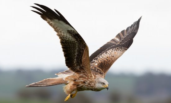 Red Kite, once rare now very common since reintroduction - pic: Angela Norman
