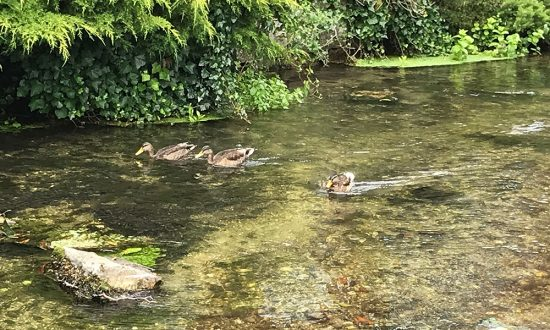 Ducks at Town Mill over the weekend
