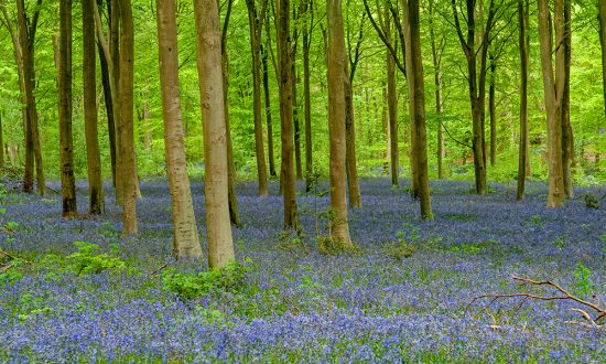 Annual bluebell display in West Woods, a part of the large footprint of Preshute Parish