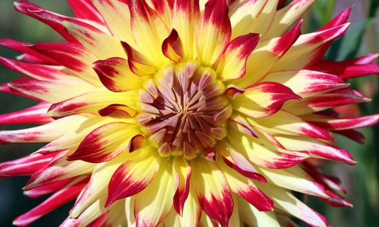 Dahlia in July - pic Eric Gilbert