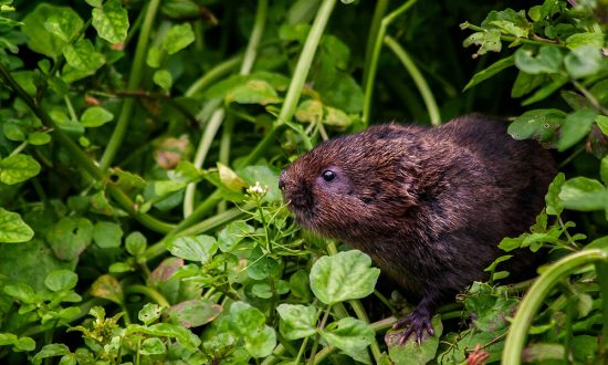 Spot one of these voles on a stroll through the Stonebridge Wild River Reserve