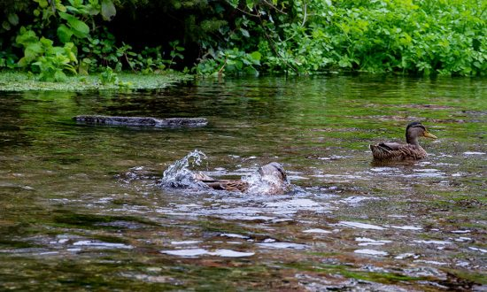 Ducks frolicking in the River Kennet at Town Mill earlier today (Weds 2 Sept)