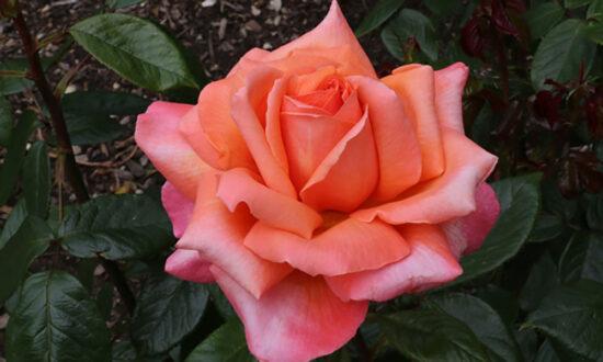 May-rose